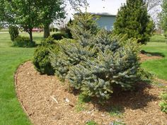 howell's dwarf tigertail spruce can have irregular shape so make sure to go to the nursery to choose one.  In Central Oregon I have seen them at Schultz Farms and Garden.