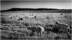 Counting Sheep by StormSignal  on 500px