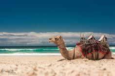 Kevin Fallon Photography Camel Safaris at Lighthouse Beach, Port Macquarie, Visit NSW Harbor Bridge, Port Macquarie, Australian Plants, Kangaroo Island, The Kingdom Of God, Camels, Great Barrier Reef, Kingfisher, Sandy Beaches