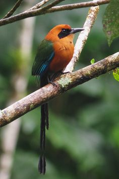 The Rufous Motmot (Baryphthengus martii) is a near-passerine bird which is a resident breeder in rain forests from northeastern Honduras south to western Ecuador, northeastern Bolivia, and southwestern Brazil.