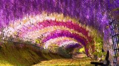 Beautiful Sites You Have To See Before You Die Get whisked away by the Kawachi Wisteria Garden in Kitakyushu, Japan.Get whisked away by the Kawachi Wisteria Garden in Kitakyushu, Japan. Wisteria Tunnel, Wisteria Garden, Wisteria Japan, Wisteria Arbor, Purple Wisteria, Purple Garden, Wisteria Plant, Purple Haze, Garden Trellis
