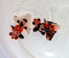 CHINA GOLDFISH--Fantail calicoes, I like calico animals