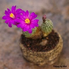 Mammillaria goldii