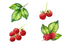 Watercolor raspberry and blackberry by elyaka on @creativemarket