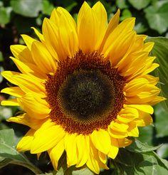 zonnebloem geel