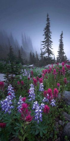 Lupines and Indian Paintbrush wildflowers in Mt. Rainier National Park, Washington State.