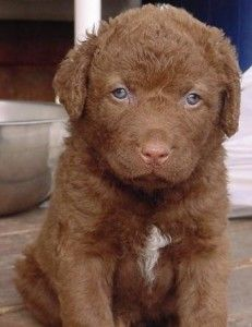 Chesapeake Bay Retriever pup.. i wish mine stayed that small with out all the chewing of course :)