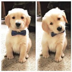 Golden Retriever puppy wearing a bow tie