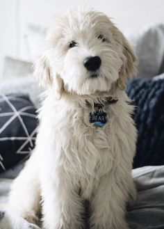 In this article, we will be discussing Goldendoodle grooming. We will outline the most important steps on how to groom a Goldendoodle, and we will even touch a little bit on Goldendoodle grooming styles. Chien Goldendoodle, Goldendoodle Grooming, Goldendoodles, Labradoodles, English Goldendoodle, Goldendoodle Funny, White Labradoodle, Teddy Bear Goldendoodle, Cockapoo Puppies