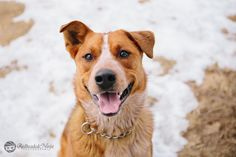 At Pets Come First in Centre Hall, PA. #shelter #petscomefirst #adopt #dog #snow #australiancattledog #bo