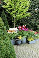Warstwowe sadzenie roślin cebulowych w dużych pojemnikach - Ogrodowisko