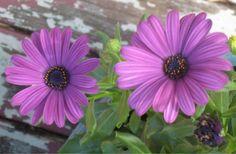 Purple Daisy...photo by Cyn