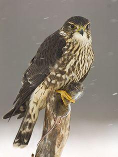 Merlin (Falco columbarius) by ER Post, of Prey Merlin Bird, Birds Of Prey, All Birds, Wild Creatures, Big Bird, Bird Watching, Beautiful Birds, Owls, Hilarious Animals