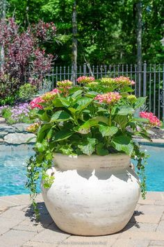 How to grow hydrangeas in pots. growing pink hydrangea bushes in a pot with Bacopa and German Ivy How to grow hydrangeas in pots. growing pink hydrangea bushes in a pot with Bacopa and German Ivy Hydrangea Potted, Hydrangea Bush, Pink Hydrangea, Growing Hydrangea, Small Cottage Garden Ideas, Cottage Garden Plants, Garden Pots, Large Outdoor Planters, Container Plants