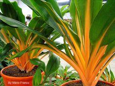 Meu cantinho verde: LUMINA - ( Chlorophytum orchidastrum )