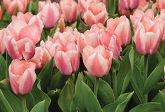 We love this variety because the colors shift as the blooms age. The petals are rose pink with a touch of lavender when they start to open, maturing to the softest pink with mellow orange highlight.