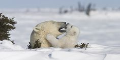 Polar Bear and cub in Wapusk National Park © Parks Canada Winter Pictures, Nature Pictures, Animal Pictures, Nature Girl Names, Penguins And Polar Bears, Playful Kiss, We Bear, Friend Pictures, Cubs