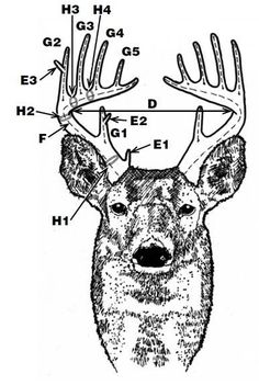 Deer Antler Scoring.  Need to learn this so, I know what the hunters in my family are talking about #Hunting #huntingtips