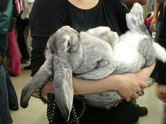 Yes, these giant rabbits really do exist, and yes, you can have one in your house if you want it. Plus: exclusive video!