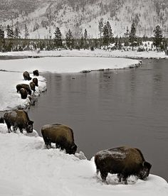 Buffalo in Yellowstone National Park in the winter