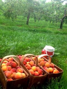 ready to take - picked niagara peaches at The Orchard Croft  B&B, Canada ,Ontario