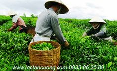 Mua Chè (Trà) Thái Nguyên chính hãng ở đâu?, trà tân cương thái nguyên, tra tan cuong thai nguyen