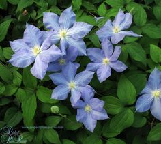 Blue Jeanne Clematis