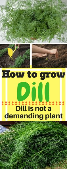 As we can see, the main feature of dill is its adjustability. It seems to me as if it was growing out in the fields, and people started domesticating it, so we have it today as a herb, but it didn't change much. #garden#gardening#dill#howtodill#growyourmint.com