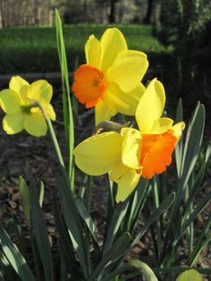 Daffodil   national flower of Wales--St Davids Day  March 1st --Welsh people either wear a daffodil or a leek--I prefer a daffodil lol