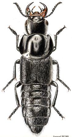 Velleius dilatatus (Staphylinidae)