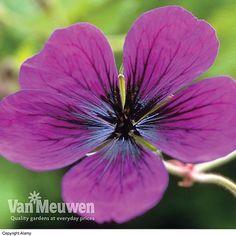 Geranium 'Dragon Heart' | Van Meuwen