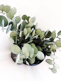 Xerosicyos Danguyi Gallon Pot Rare Silver dollar vine succulent plant The silver dollar vine is a really unusual succulent type plant/vine.