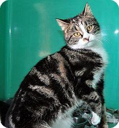 West Hartford, CT - Domestic Mediumhair. Meet Dottie a Cat for Adoption.