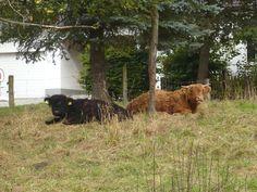Hochlandrinder im  Sauerland