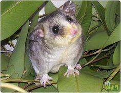 Mountain Pygmy Possum. Reptiles, Mammals, Small Birds, Pet Birds, Australian Possum, Australia Animals, Zoo Keeper, Animal Activities, Creature Feature