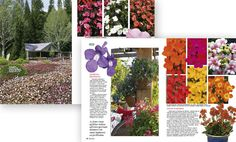 Revista-Natureza309 - Recém-lançada no Brasil, a sun-patiens (Impatiens x hawkeri – SunPatiens Goup) merece um lugar especial no jardim de quem adora flores.