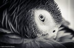 Elvis the African Grey Parrot