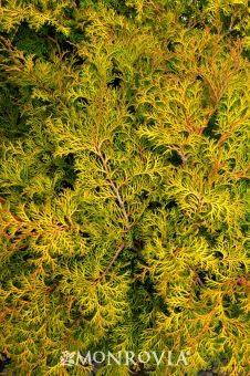 Compact Bronze Hinoki Cypress