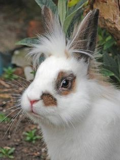 Lionhead Rabbit. What do you think Ms. Satterfield???