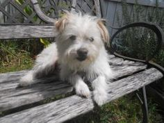 Jessup is an adoptable Cairn Terrier Dog in Orlando, FL. Meet Jessup! Jessup is a four year old male maltese/terrier mix boy, and he weighs 13 pounds! Jessup is a very sweet, playful boy who still has...