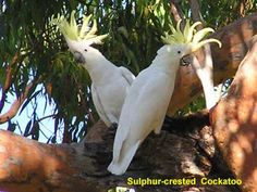 Sulphur-crested Cockatoo is mainly found in the woodlands of Australia and New Guinea. It is large, having a total length of 45-55 cm (18-22 in). Its plumage is overall white, while the underwing, tail and crest are yellow. The sulphur-crested cockatoos are known to be loud, naturally curious, and very intelligent. They have long lives, up to 70 years for some birds in captivity.