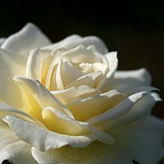 No matter what there is to say, a rose can say it best.     Qualunque cosa ci sia da dire, una rosa può dirla meglio.     (Margie Driver)
