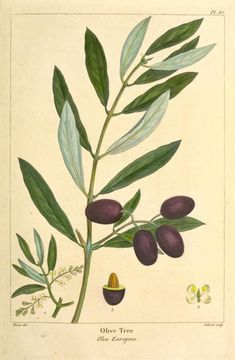 Olive Tree (Olea Europæa). Discover the olive oil cosmetics from the Riviera on http://www.varaldocosmetica.it