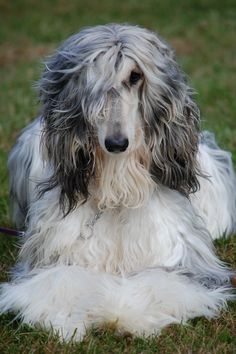Eli - what a beauty!! Afghan Hound ♥ Loved and pinned by Noah's Ark Mobile Vet Service | 250-212-5069 | Kelowna #pets