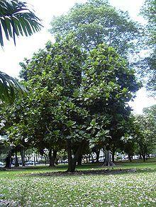 Brotfruchtbaum – Wikipedia
