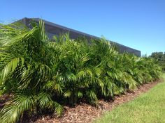 ARECA PALMS make a great privacy screen when planted as a 'hedge row'.  They have a maximum height of around 20' tall and form dense clumps.   These palms need the consistent fertilization to keep from developing a yellowish appearance.   PalmBoss® provides fertilization services specific for palm trees that maintains their lush /green appearance.  This row of palm should only improve over time.