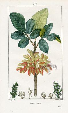 Pistachio tree (Pistacia vera) botanical illustration (these trees tolerate saline soil)