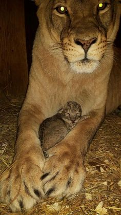 Beautiful Lion Mom with her new Cub. Beautiful Lion Mom with her new Cub. Cute Baby Animals, Animals And Pets, Funny Animals, Animal Babies, Big Cats, Cats And Kittens, Cute Cats, Small Wild Cats, Beautiful Lion
