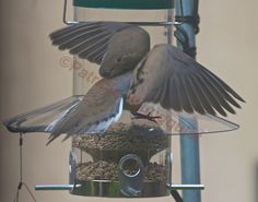 Mourning Dove's crash landing on a feeder with a motive! Full Story @ http://www.thelastleafgardener.com/2013/08/following-up-on-8-2-13-blogger-post.html