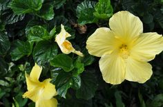 Yellow Hibiscus - Hawaii State Flower. Home Shoppe Hawaii Blog, Book Review: Your Ideal Hawaii Home